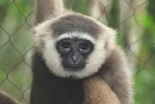 photo gibbon